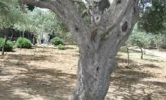 Olivträd_Gethsemane